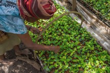 Tea plantlets at Kayonza Tea Factory - Credit Solidaridad & Joshua Rukundo - small.jpg